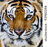 Bengal Tiger Face With Eyes...