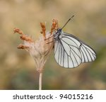 Black   Veined White Butterfly...