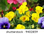 Pansies in a spring garden - stock photo