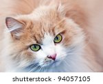 Portrait Of A Ginger Cat With...