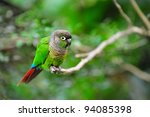 Green Cheeked Conure On A Tree...