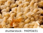 Large Group of Baby Chicks on the farm - stock photo