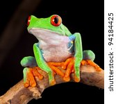 Red Eyed Tree Frog At Night In...