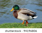 beautiful male mallard duck... | Shutterstock . vector #94196806