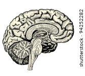 Human Brain   Vintage Engraved...