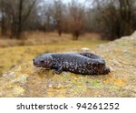 Small photo of Salamander perched near stream and wetland forest - Smallmouth Salamander, Ambystoma texanum