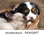 Stock photo spaniel puppy and kitten 94342897
