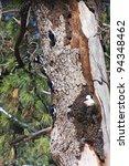 Small photo of Acorn Woodpecker Colony (Melanerpes formicivorus)