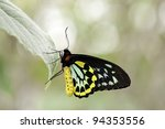 Colorful cairns birdwing butterfly - stock photo