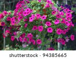 Beautiful Petunia Flower