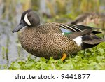 Male Blue Winged Teal Watching...
