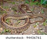A Large Eastern Garter Snake ...
