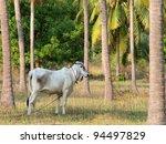 Thai Cow - stock photo