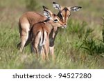 Two Impala Antelope Fawns...