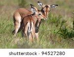 Two Impala Antelope Fawns...