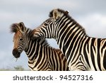 Burchells Or Plains Zebras Wit...