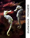 Real alive - Swimming couple of long-snouted seahorse in love