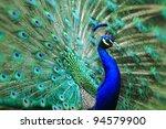 Very Nice Peacock As Animal...