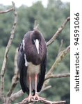 Small photo of Portrait image of an Abdim's Stork (Ciconia Abdimii)