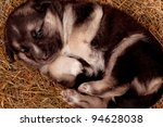 Cute puppy of 3 weeks old on straw - stock photo