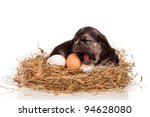 Cute puppy in a nest with eggs on a white background - stock photo