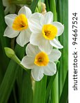 Narcissus Flowers