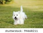 West Highland White Terrier ...