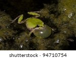 a male baja california treefrog ...   Shutterstock . vector #94710754
