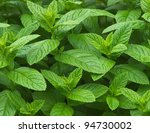 growing mint leaves | Shutterstock . vector #94730002