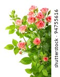 Stock photo bush with pink roses and green leaf isolated on white background close up studio photography 94755616