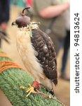 Small photo of Hawk bicolor. Accipiter bicolor. XVII International Conference on Falconry in northern Spain in the Virgen del Camino, Leon.