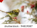 Pine siskin bird, male,  perched on a cedar branch in winter.
