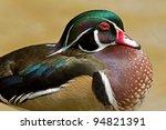 Male Wood Duck  Aix Sponsa ...