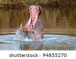 Hippopotamus Yawning
