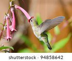 Annas Hummingbird Feeding  On...