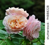 Stock photo pink rose 94888228
