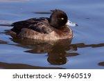 Female Tufted Duck  Aythya...