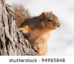 Fox Squirrel Sitting On A Tree