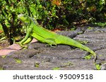 Green iguana taking a sun bath in a garden - stock photo