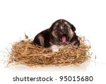 Cute puppy in a nest on a white background - stock photo