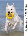 White Swiss Shepherd In The...