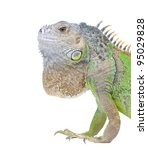 iguana portrait isolated on...   Shutterstock . vector #95029828