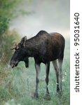 Moose Bull In Autumn