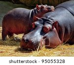 Hippopotamus Mother And A Baby