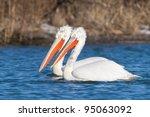 dalmatian pelican in winter ... | Shutterstock . vector #95063092