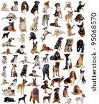 Stock photo composite picture with purebred dogs in a white background 95068570