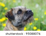 Portrait Of A Border Terrier I...