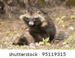 Raccoon Dog in autumn - stock photo