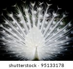 White Peacock Shows Its Tail