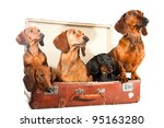Stock photo group of five dachshund dogs sitting in brown vintage suitcase on isolated white background 95163280